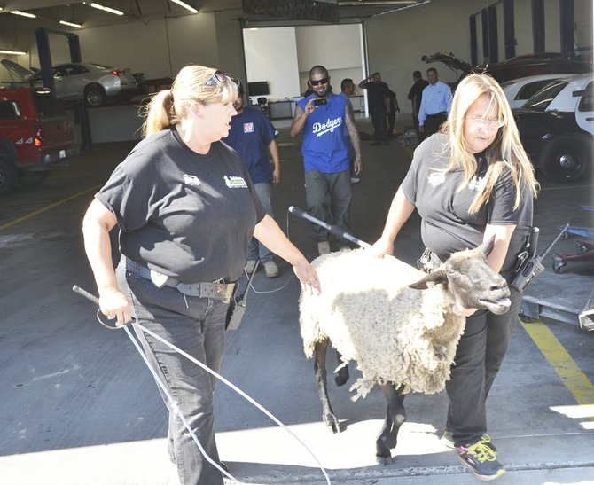 Yakima Humane Society Animal Control Officers Stephanie Riehs and Crystal Goss (above L-R) escort one of two sheep that were on the lamb from C. Speck Motors' service department Tuesday afternoon. This sheep was taken into custody, but the other was still MIA, according to Riehs.