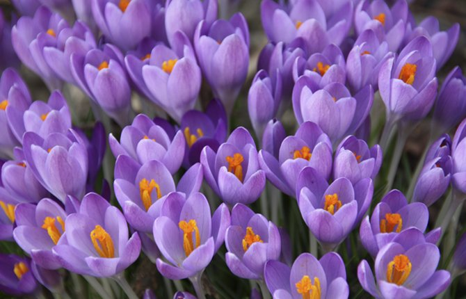 PLANTED IN THE FALL, colorful crocus blooms are one of the early harbingers of spring.