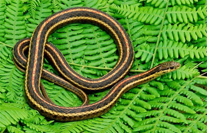 The Northwestern Garter Snake likes grassy-brushy areas and weedy sections of suburban backyards and city parks. It is most active on warm, sunny days. It is found in western Oregon.