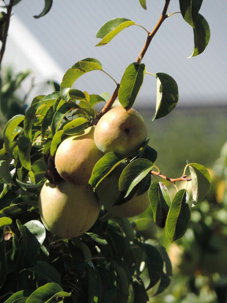 ENJOY PEARS fresh off the tree or in many other forms this weekend.