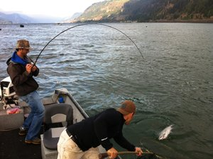 BENT RODS have been a common sight in the past month or so as record num-bers of fall chinook head upstream. Pictured here, Hood River natives Jon and James Munk put in a team effort to land one of several keepers they caught on a recent outing at the mouth of the White Salmon River.
