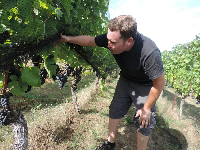 GARRIT STOLTZ samples Pinot grapes just before harvest.