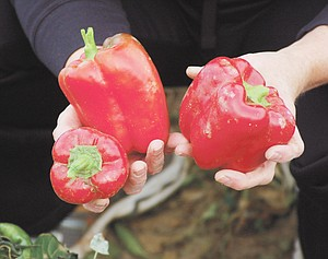 Huge red bell peppers are great for salads and cooking and are plentiful right now at the community garden next to Sunnyside Christian Reformed's new church building on 16th Street.