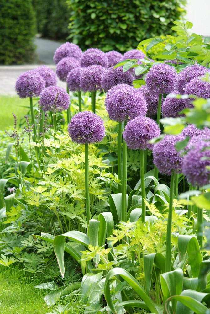 The Globemaster Allium, a hybrid that is bred for superior strength grows at heights up to 5 feet tall. 