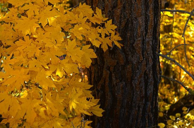Leaves of a big leaf maple are brilliantly yellow along Mill Creek Road south of The Dalles, pictured here against the trunk of a ponderosa pine. Copyright Mark B. Gibson