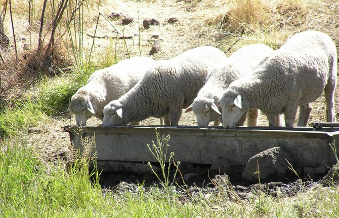 COLUMBIA EWES visit the spring at Imperial Stock Ranch. Their wool is being used to fashion sweaters that will be worn by American athletes in the Parade of Nations during opening ceremonies at the 2014 Winter Olympic Games.