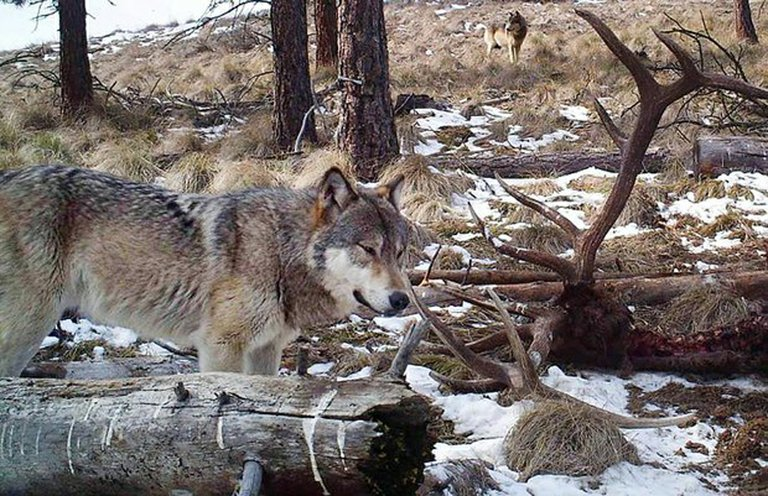 Two wolves were photographed last March with an elk carcass in Pitcher Canyon, about six miles south of Wenatchee.