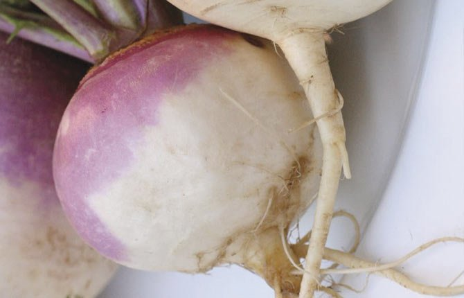 TURNIPS CAN yield benefits as a winter cover crop, as can radishes.	Wikimedia Commons photo