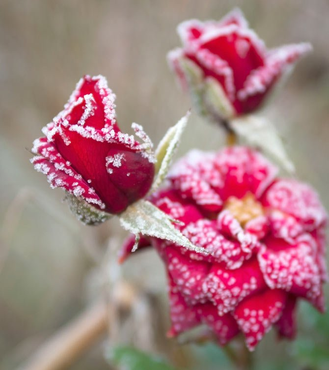 BEADS OF frost adorn the edges of a trio of miniature roses.	 Mark B. Gibson photo