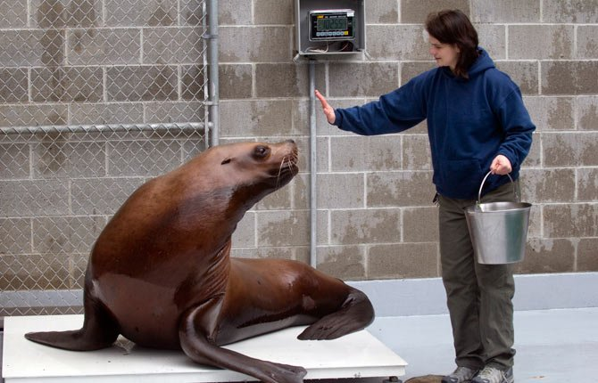 Gus, one of the Steller sea lions at the Portland Zoo, gets positioned by Nicole Nicassio-Hiskey for weighing.