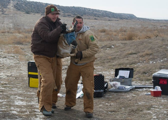 Biologists moving pronghorn.