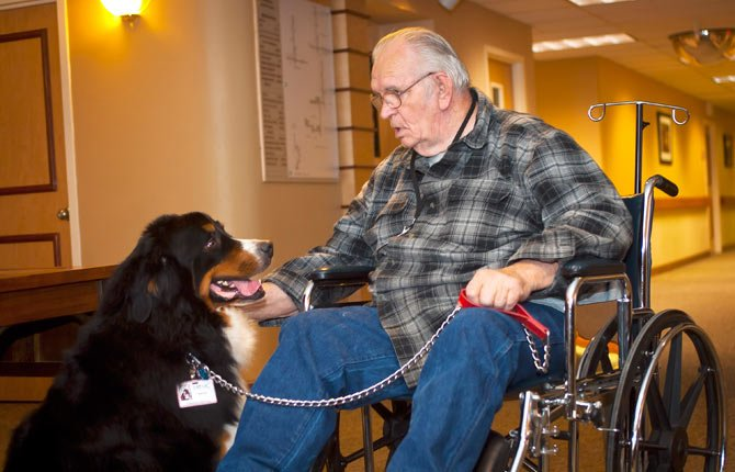 PATCH, the Bernese mountain dog, visits Mid-Columbia Medical Center with his human companion, Gene Poirier. His breed is best known as cold-weather dogs, but they are also bred for companionship, a suitable visitor for patients in need of comfort.