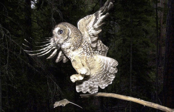 A northern spotted owl, named Obsidian by U.S. Forest Service employees, flies after an elusive mouse that had been sitting on the end of a stick in the Deschutes National Forest near Camp Sherman, Ore., in this May 8, 2003 file photo. The Bush administration's plan for assuring the survival of the northern spotted owl while allowing increased logging in old growth forests has received another bad review.