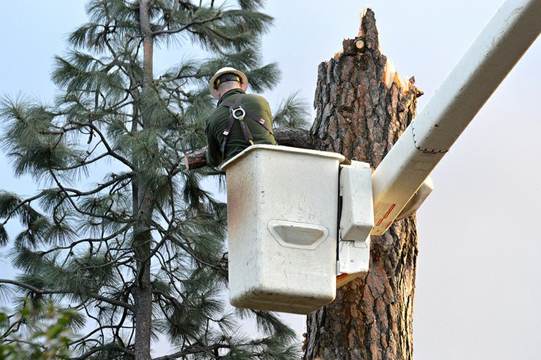 A COLUMBIA TREE SERVICE worker helps fell remain-ing portions of a 130-foot pine tree that split in half dur-ing the high winds this weekend in Hood River. The tree narrowly missed crushing an outbuilding on the proper-ty of Kathy and Eric Eastman at the end of Eliot Drive.