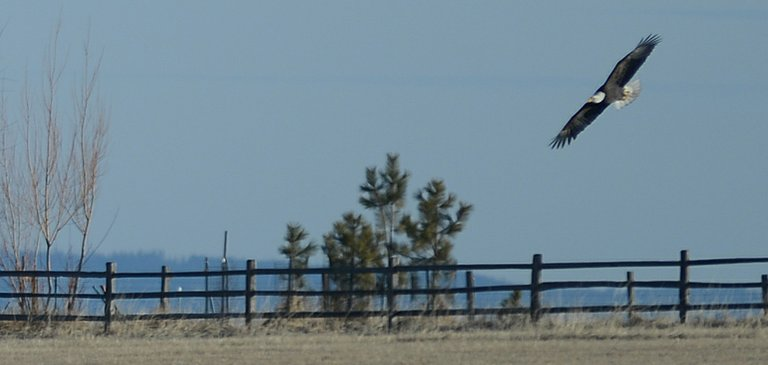 This bald eagle was seen, along with a couple of golden eagles, in a field next to the drive-in theatre last Wednesday, Jan. 15.