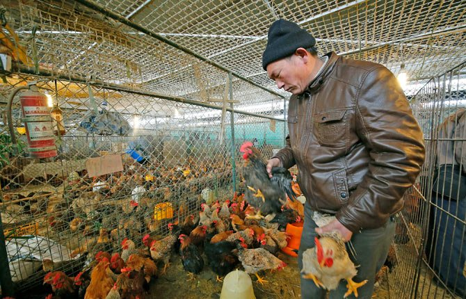 a vendor picks chickens at a wholesale poultry market in Shanghai. A spate of bird flu cases since the beginning of the year in China has experts watching closely as millions of people and poultry are on the move ahead of the Lunar New Year holiday, the world's largest annual human migration.