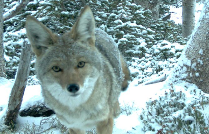 A COYOTE IS photographed by one of the Cascades Carnivore Project's remote cameras high on the north side of Mount Adams. With support from an Oregon Zoo Foundation Future for Wildlife grant, the project aims to shed light on predator populations in this fragile alpine ecosystem.