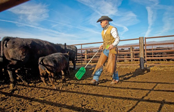 RANCHER KEITH Nantz uses a sorting paddle to direct cattle from pen to pen.