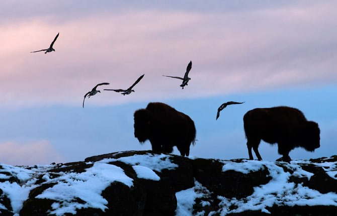 A flock of geese circle to land beyond a pair of buffalo silhouetted on a snow-dappled cliff along the access road of Schreiner Farms in Dallesport. Visitors are allowed as far as the first barn, provided they do not get out of their vehicles.