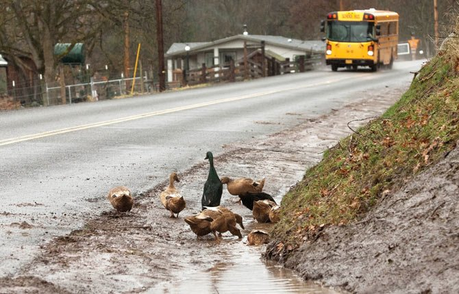 A flock of domestic ducks explore a muddy ditch along Mill Creek Road, where county road crews have been struggling to effectively drain heavy snow melt flowing off the slopes above.