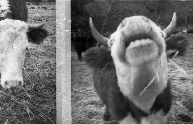 first film cow