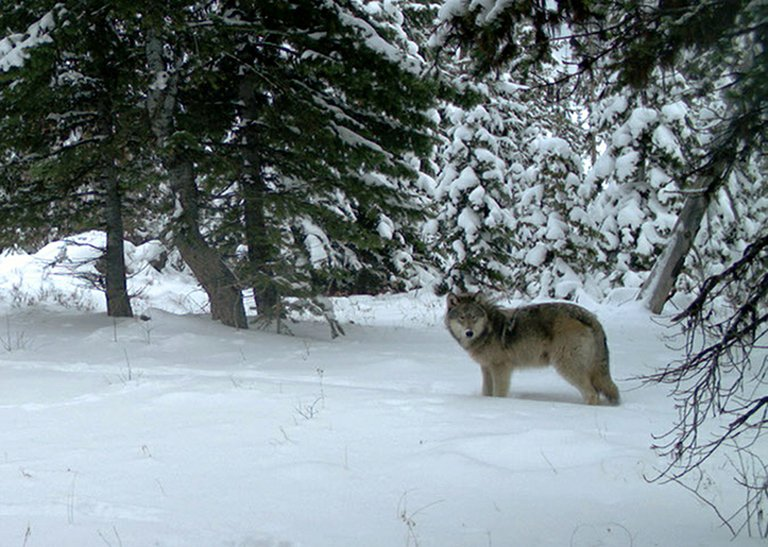 A wolf from the Minam pack pauses in the Eagle Cap Wilderness in northeastern Oregon in this 2012 photo taken by Oregon Department of Fish and Wildlife.