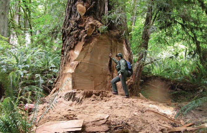 Terry Hines stands next to a massive scar on an old growth redwood tree May 2013 in the Redwood National and State Parks near Klamath, Calif., where poachers have cut off a burl to sell for decorative wood. The park recently took the unusual step of closing at night a 10-mile road through a section of the park to deter thieves.