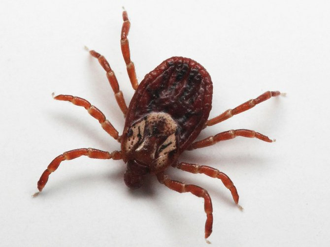 The best way to remove an adult tick is mechanically. To facilitate prompt removal, fine-tipped tweezers can be used to grasp the tick as close to the skin as possible and detach it by applying a steady upward force without crushing, jerking or twisting.