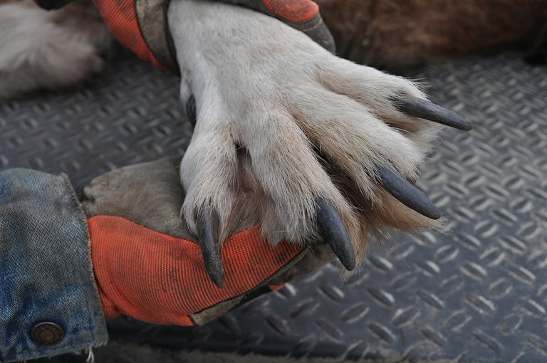 A paw is displayed from a 120-pound male wolf harvested in Idaho County in February 2012.