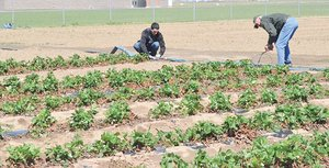 Henry Haak (right) helps Junior Gonzalez set up irrigation for the strawberry field used for Sunnyside Transformation Yakima Valley's youth ranch program.