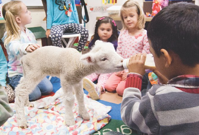 Marlene Hughes' Sunnyside Christian Elementary School pre-school classroom looks like a scene out of a nursery rhyme as she introduces a lamb to her three-year-old students this past Thursday. Each child in the class took a turn holding the bottle for the lamb. Hughes also showed the students the bare upper gums in the lamb's mouth. She said the students were amazed to learn that sheep do not have upper teeth. Pictured (L-R) are Khloe O'Brien, Devan Sanchez, Rebekah den Hoed and Fidel Castro, who has the job of feeding the wooly baby critter.