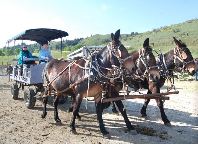 Three mules pull an old-fashioned wagon through the Winthrop Rodeo Arena on Tuesday morning before the start to the 16th annual, four-day Ride to Rendezvous.