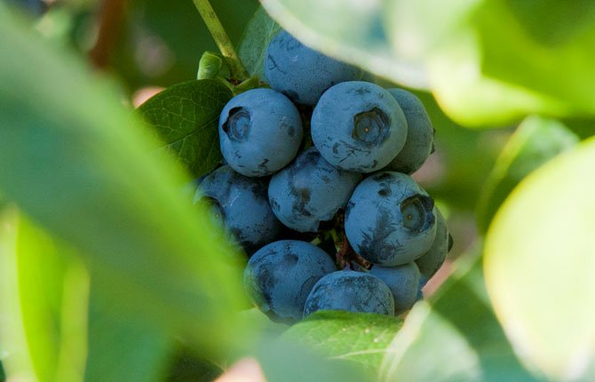 To create edible coatings, researchers mixed extracts from blueberry leaves with chitosan, a natural preservative that comes from crustacean shells.