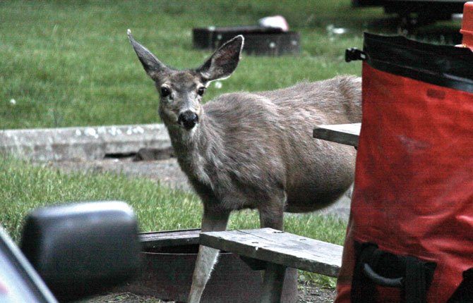 A deer sneaks up to a picnic table at Minam State Park, between LaGrande and Enterprise, looking for a handout. Campground deer are fun to watch but can be a nuisance when they break into your cooler.