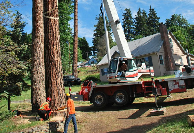 Crews with Braun Arboricultural Consulting take down beetle-infested trees near the intersection of Jewett Boulevard and Dock Grade Road in White Salmon last week.