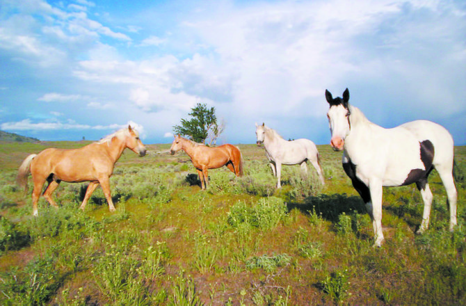 Feral horses pause on a range in the Tunk Valley-Chewiliken area east of Riverside. They are among an estimated 100 or so formerly domestic horses and their offspring roaming the Okanogan Highlands.
