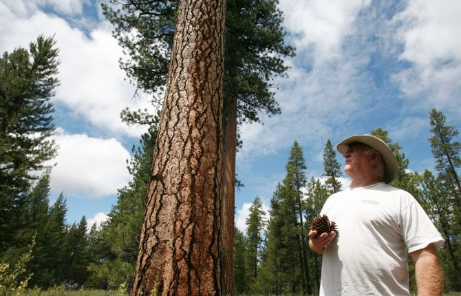 John Scoggin collects ponderosa pine cones Thursday June 26 in the forest near LaPine. Scoggin, who works in Bend and lives in La Pine, says he can fill four or five 42-gallon trash bags with cones in the space of a short detour home from work. A buyer in La Pine pays him $5 per bag.