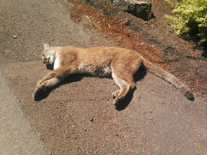 A cougar was killed Wednesday afternoon near the north end of Country Club Road after it darted out in front of a truck driven by Kean Dayley and was run over. ODFW collected samples and county public works disposed of the body.