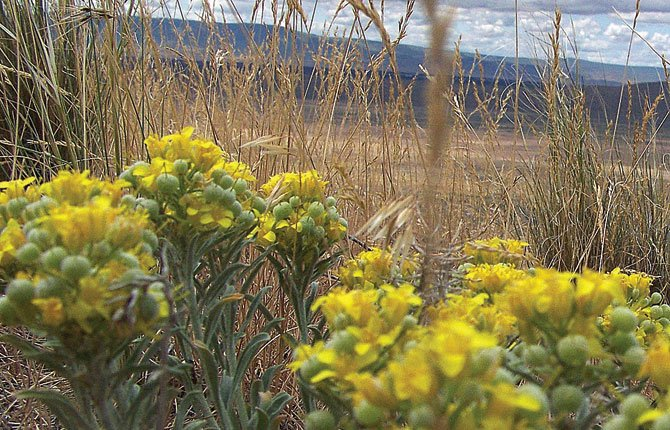 "WHITE BLUFFS bladderpod is the subject of a Franklin Co. challenge of its U.S. Fish and Wildlife ""threatened"" listing. 