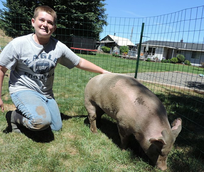 WADE Pickering looks after his market hog Nicole, in the backyard pen.
