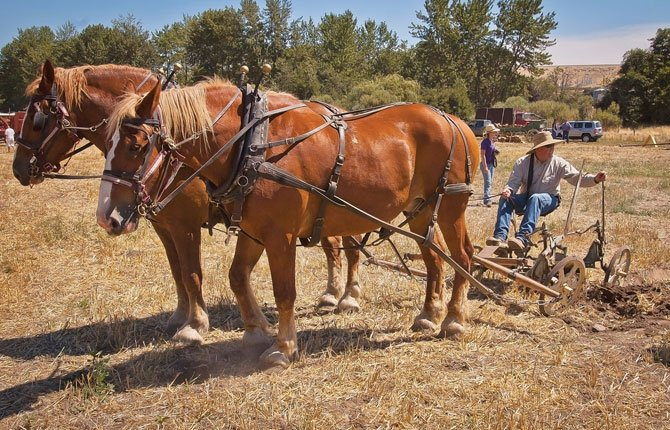 Clay Penhollow of Redmond answers questions as he rests between plowing furrows with a team of horses at the Dufur Threshing Bee Saturday, Aug. 9.