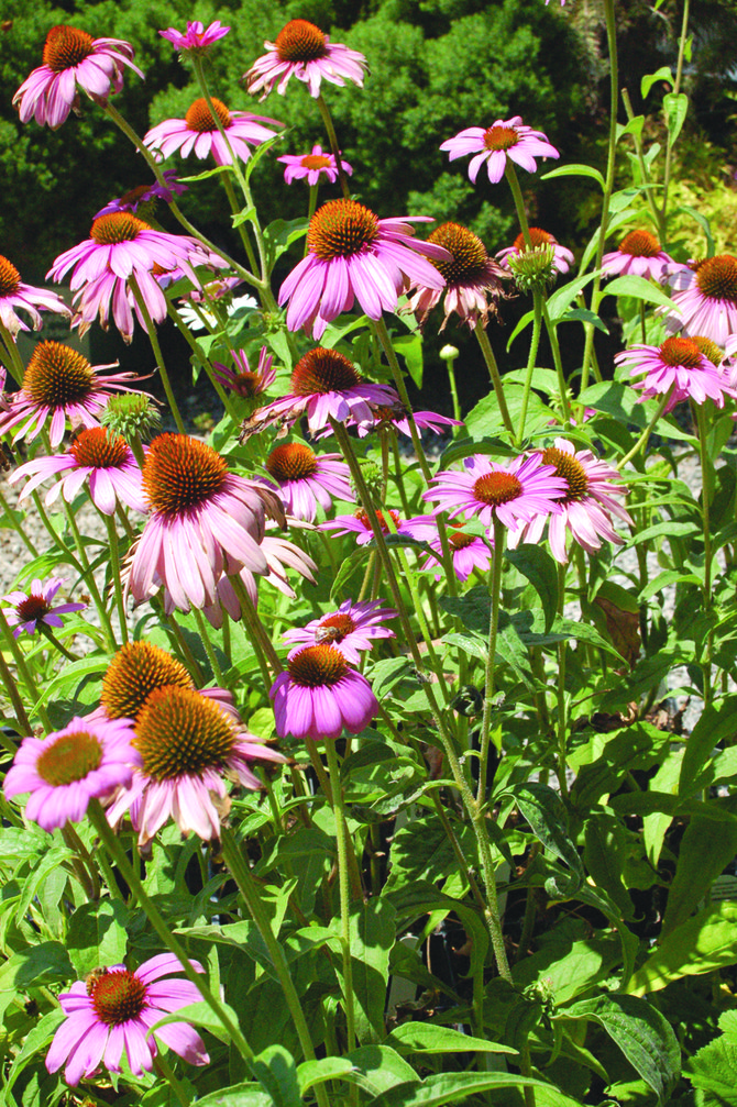 The coneflower, which sometimes is confused with daisies, is an excellent cut flower and is a drought and heat tolerant long-blooming perennial, according to Sandy Freepons. It does well in Yakima Valley flower gardens, adding a lot of color to area landscapes.