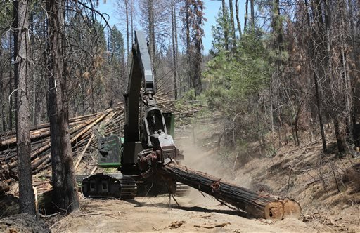 In this Friday, July 25, 2014 photo, branches are removed from a tree harvested from the burned by the Rim Fire, is hauled removed from the burn area to be trucked out of the Stanislaus National Forest near Groveland, Calif. Nearly a year after the Rim Fire charred thousands of acres of forest in California's High Sierra, a debate rages over what to do with the dead trees, salvage the timber to pay for forest replanting and restoration or let nature take its course. Environmentalist say that the burned trees and new growth beneath them create vital habitat for dwindling bird such as spotted owls, and black-backed woodpeckers and other wildlife.