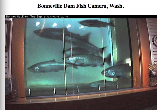 large chinook run is on its way the dalles chronicle
