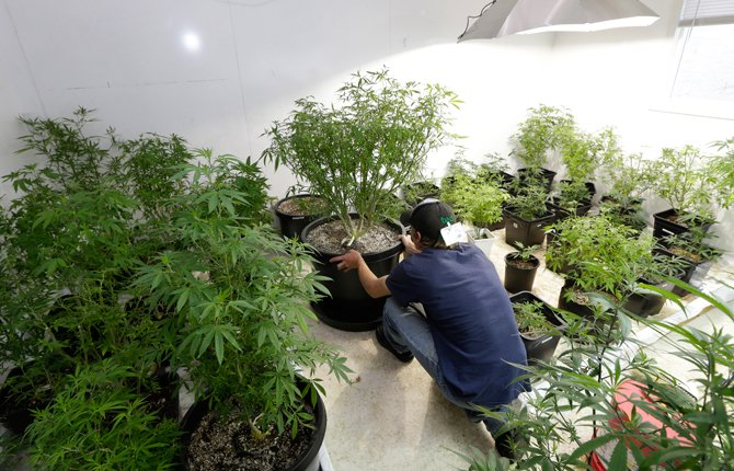 Johnnie Seitz moves a marijuana plant growing under lights at Sea of Green Farms, a recreational pot grower in Seattle. As more marijuana producers move their plants indoors over the next two decades, the grow operations in Washington state are expected to need as much electricity each year as what a small Northwest city consumes, according to an energy forecast by regional power planners.