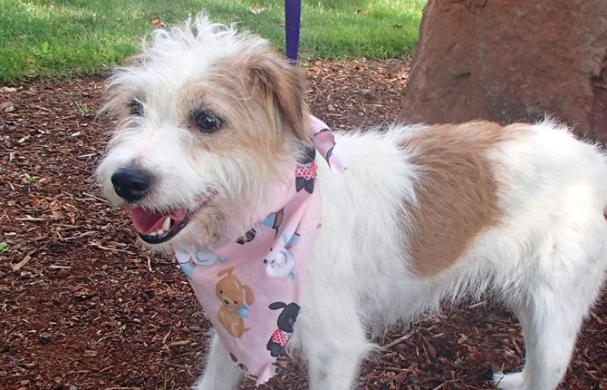 Washington County Animal Services in Hillsboro shows a Jack Russell terrier named Gidget. The 7-year-old dog who went missing from her Pennsylvania home outside of Philadelphia on April 22 has turned up at an animal shelter nearly 3,000 miles away.
