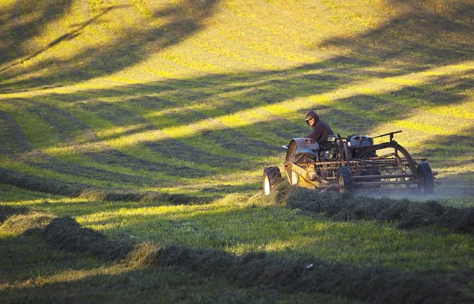 A FARMER KEEPS an eye on his hay rake as he turns over a cutting of alfalfa in a field along Mill Creek Road just west of The Dalles Wednesday afternoon, Oct. 1. Humidity and rain showers had dampened the cut, and raking turns it over so it can dry more quickly, keeping it from losing quality. It also consolidates the rows, making it more efficient to bale.