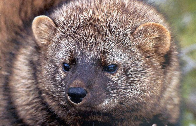 A FISHER, a larger cousin of the weasel that federal biologists have proposed protecting as a threatened species, is seen in this undated U.S. Fish and Wildlife Service photograph. One of the leading threats to the fisher cited by federal biologists is household rat poison left at illegal marijuana plantations in remote forests.