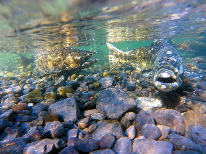 Although short of forecasts salmon run still breaks for Hood river fishing
