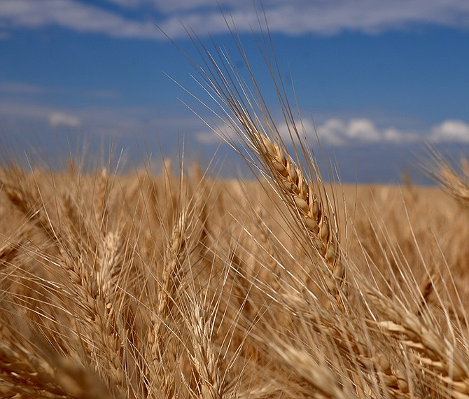 A field of wheat pictured in August near Fairview Cemetery on Lukes Gulch Road.